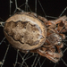 Furrow Orbweaver - Photo no rights reserved