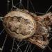 Ruokohämähäkki - Photo Oikeuksia ei pidätetä