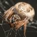 Larinioides cornutus - Photo no hay derechos reservados