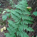 Spinulose Wood Fern - Photo (c) ctracey, some rights reserved (CC BY-NC-SA), uploaded by Christopher Tracey