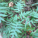 Polymnia laevigata - Photo (c) trichomanes, osa oikeuksista pidätetään (CC BY-NC)