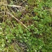 Spreading Bedstraw - Photo (c) Михаил Орлов, some rights reserved (CC BY)