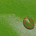 Hemisphaerius interclusus - Photo (c) osoandino, some rights reserved (CC BY-NC)