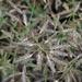 Eragrostis minor - Photo (c) Almantas Kulbis, algunos derechos reservados (CC BY-NC)