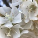 South African Wild Pear - Photo (c) David Hoare, some rights reserved (CC BY-NC)
