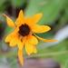 Arctotis breviscapa - Photo (c) anibotani, algunos derechos reservados (CC BY-SA)