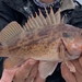 Brown Rockfish - Photo (c) katastrophe1, some rights reserved (CC BY-NC)