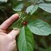 Ilex montana - Photo (c) bendingtree, algunos derechos reservados (CC BY-NC), uploaded by bendingtree