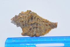 Cymatium femorale image