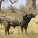 Búfalo Africano - Photo (c) Seig, algunos derechos reservados (CC BY-NC)