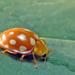 Halyzia sedecimguttata - Photo (c) Jean-Michel BERNARD,  זכויות יוצרים חלקיות (CC BY-NC-ND)