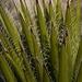 Yucca faxoniana - Photo (c) Curren Frasch,  זכויות יוצרים חלקיות (CC BY-NC)