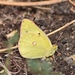 Pale Clouded Yellow - Photo (c) bijups, some rights reserved (CC BY-NC)