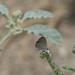 Luthrodes galba - Photo (c) Chris Lamsdell, algunos derechos reservados (CC BY-NC)