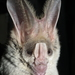 Greater False Vampire Bat - Photo (c) gdevender, some rights reserved (CC BY-NC), uploaded by gdevender