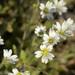 Cerastium nigrescens arcticum - Photo (c) Heather Pickard,  זכויות יוצרים חלקיות (CC BY-NC)