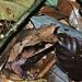 Megophrys - Photo (c) Bernard DUPONT, algunos derechos reservados (CC BY-NC-SA)
