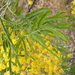 Fern-leaved Wattle - Photo (c) ronavery, some rights reserved (CC BY)