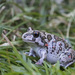 Balkan Spadefoot - Photo (c) roberto_sindaco, some rights reserved (CC BY-NC)