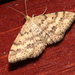 Plantain Moth - Photo (c) Victor W Fazio III, some rights reserved (CC BY-NC)