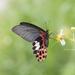 Papilio thaiwanus - Photo (c) 尹若宇, algunos derechos reservados (CC BY-NC)