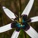 Hypoxidaceae - Photo (c) magriet b, alguns direitos reservados (CC BY-SA)