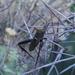 Leptoglossus crassicornis - Photo (c) tomas-agustin-martinez, osa oikeuksista pidätetään (CC BY-NC)