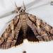 Catocala luctuosa - Photo (c) John Christensen, osa oikeuksista pidätetään (CC BY-NC)