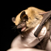 Mouse-eared Bats - Photo (c) Jason Headley, some rights reserved (CC BY-NC)