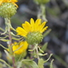 Curlycup Gumweed - Photo (c) Lena Dietz Chiasson, some rights reserved (CC BY-NC)