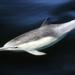 Delfín de Rostro Largo - Photo (c) Robin Gwen Agarwal, algunos derechos reservados (CC BY-NC)
