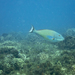Redtail Parrotfish - Photo (c) Neil DeMaster, some rights reserved (CC BY-NC)