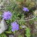 Scabiosa japonica - Photo (c) belvedere04,  זכויות יוצרים חלקיות (CC BY-NC)