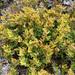 Gleichenia alpina - Photo (c) Mike Bayly, algunos derechos reservados (CC BY-NC-SA)