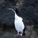 Auckland Islands Shag - Photo (c) Jane Gosden, some rights reserved (CC BY-NC)