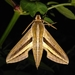 Hunter Hawkmoths - Photo (c) Viet Anh Nguyen, some rights reserved (CC BY-NC-ND)