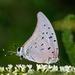 Mariposa Sedosa Reina Azul - Photo (c) MiguelOlivas, algunos derechos reservados (CC BY-NC)