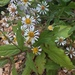 Roughleaf Aster - Photo (c) tparkeressig, some rights reserved (CC BY-NC)