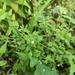 Vandellia elata - Photo (c) 柠萌~(~ ̄▽ ̄)~, algunos derechos reservados (CC BY-NC)