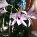 Flor de la Concepción - Photo (c) elie_wilms, algunos derechos reservados (CC BY-NC)