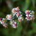 Calico Aster - Photo (c) Susan Elliott, some rights reserved (CC BY-NC)