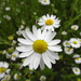 Corn Chamomile - Photo (c) Udo Schmidt, some rights reserved (CC BY-SA)