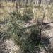 Acacia maidenii - Photo (c) dvk, osa oikeuksista pidätetään (CC BY-NC)