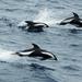 Delfín Cruzado - Photo (c) Lomvi2, algunos derechos reservados (CC BY-SA)
