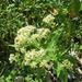 Aster glehnii hondoensis - Photo (c) belvedere04,  זכויות יוצרים חלקיות (CC BY-NC)
