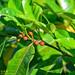 Ficus virgata - Photo (c) Kinmatsu Lin,  זכויות יוצרים חלקיות (CC BY-NC)