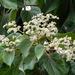 Heliocarpus - Photo (c) Wendy Cutler, algunos derechos reservados (CC BY)