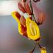 Thunbergia mysorensis - Photo (c) Jaico Caballero, algunos derechos reservados (CC BY-NC)