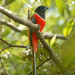 Malabar Trogon - Photo (c) S.MORE, some rights reserved (CC BY-NC)