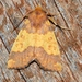 Barred Sallow - Photo (c) Luca Boscain, some rights reserved (CC BY-NC)